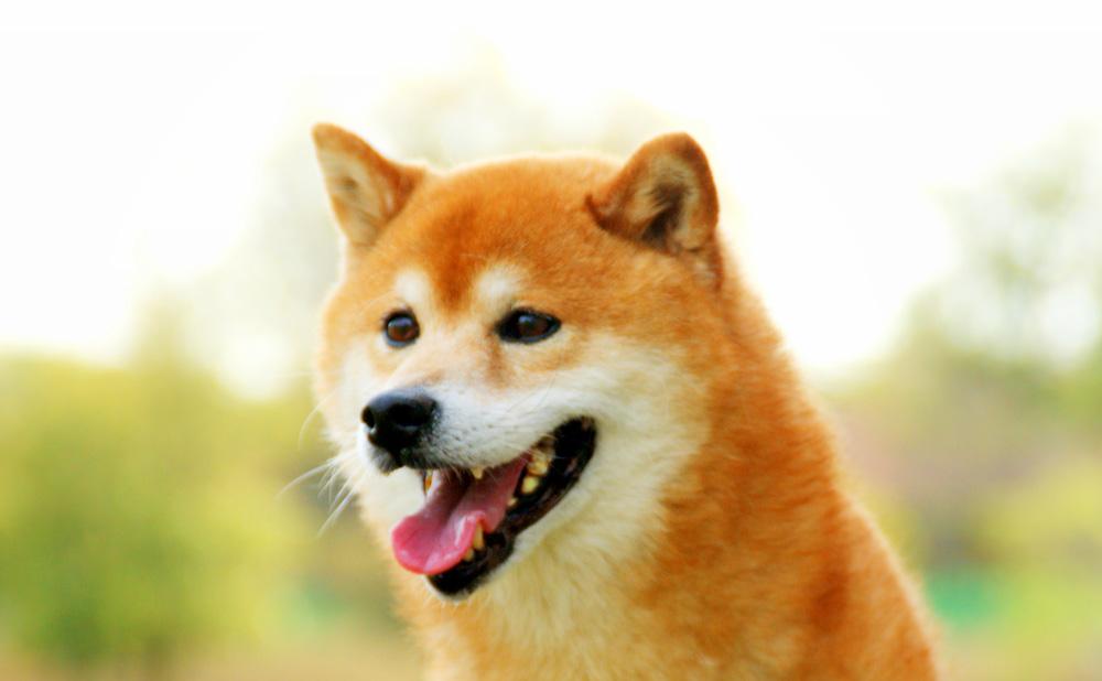 柴犬 顔つき