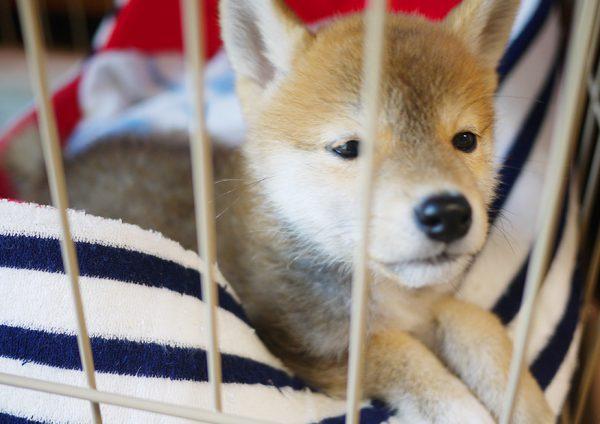 柴犬の生体:縄張り意識が強い