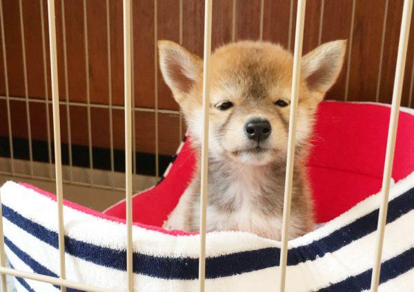 柴犬のパピー時代の可愛さが異常!