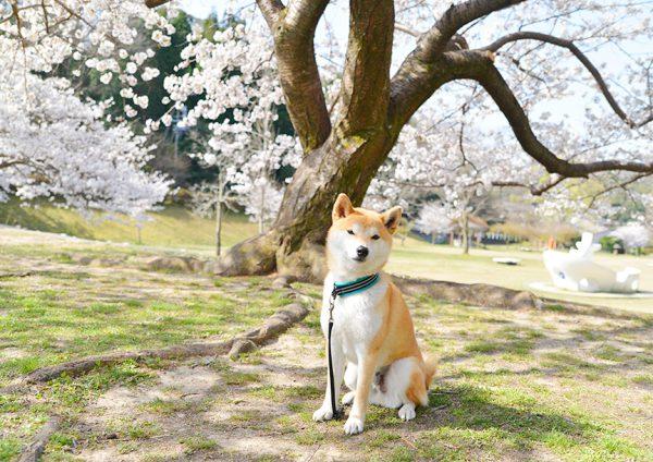 定光寺公園の桜と柴犬。