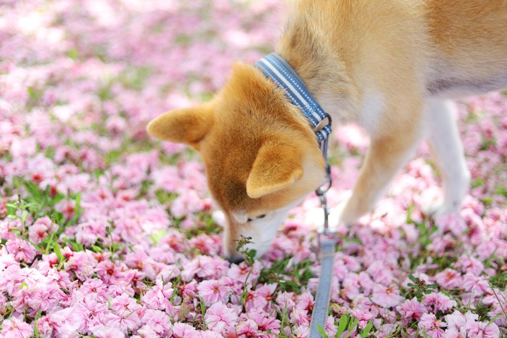 犬の散歩はハーフチョークがオススメ