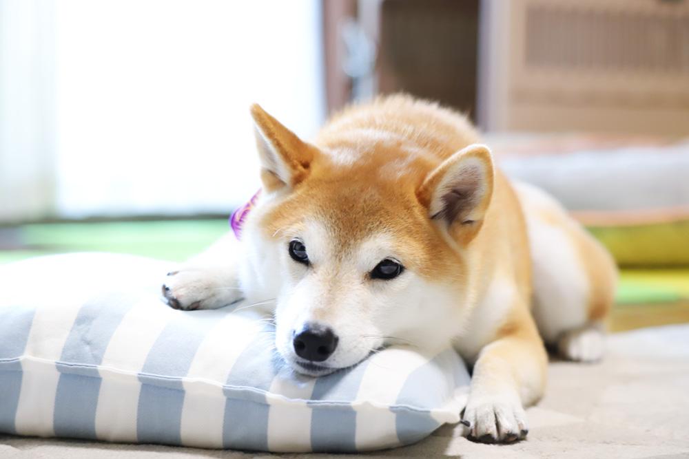 柴犬の皮膚病、無添加のドッグフードで改善を