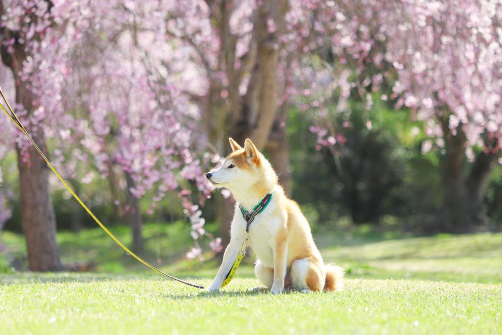 柴犬とハーフチョーク をつけてお散歩
