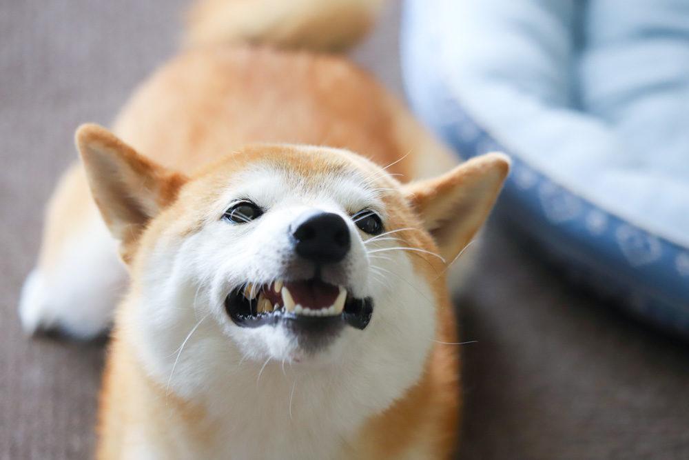 噛む柴犬との主従関係(上下関係)