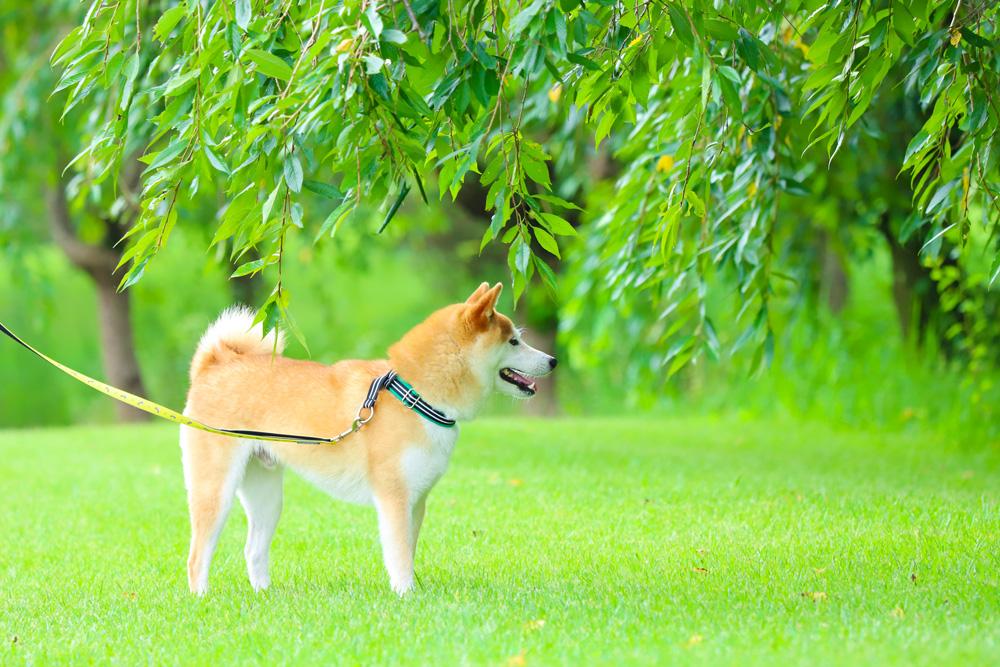 柴犬の散歩