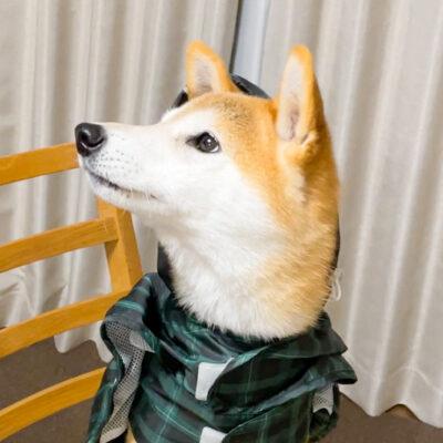服嫌いな柴犬のカッパの着せ方