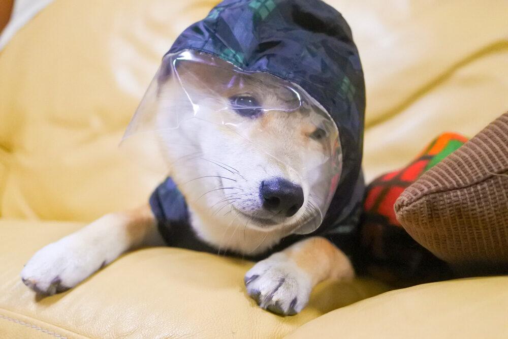 服を嫌がる柴犬