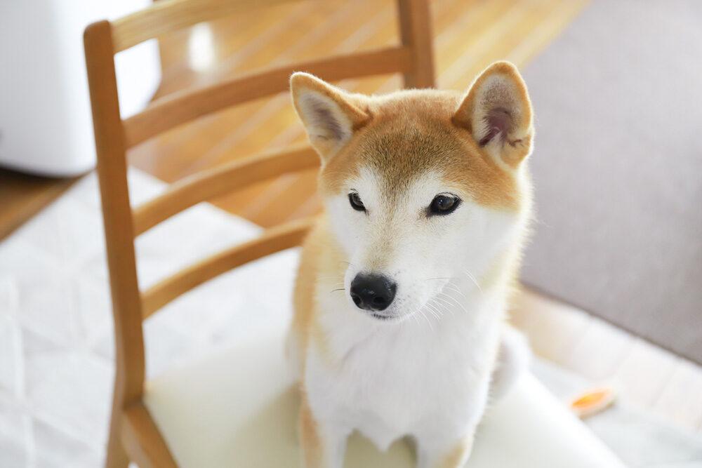 椅子に乗った柴犬