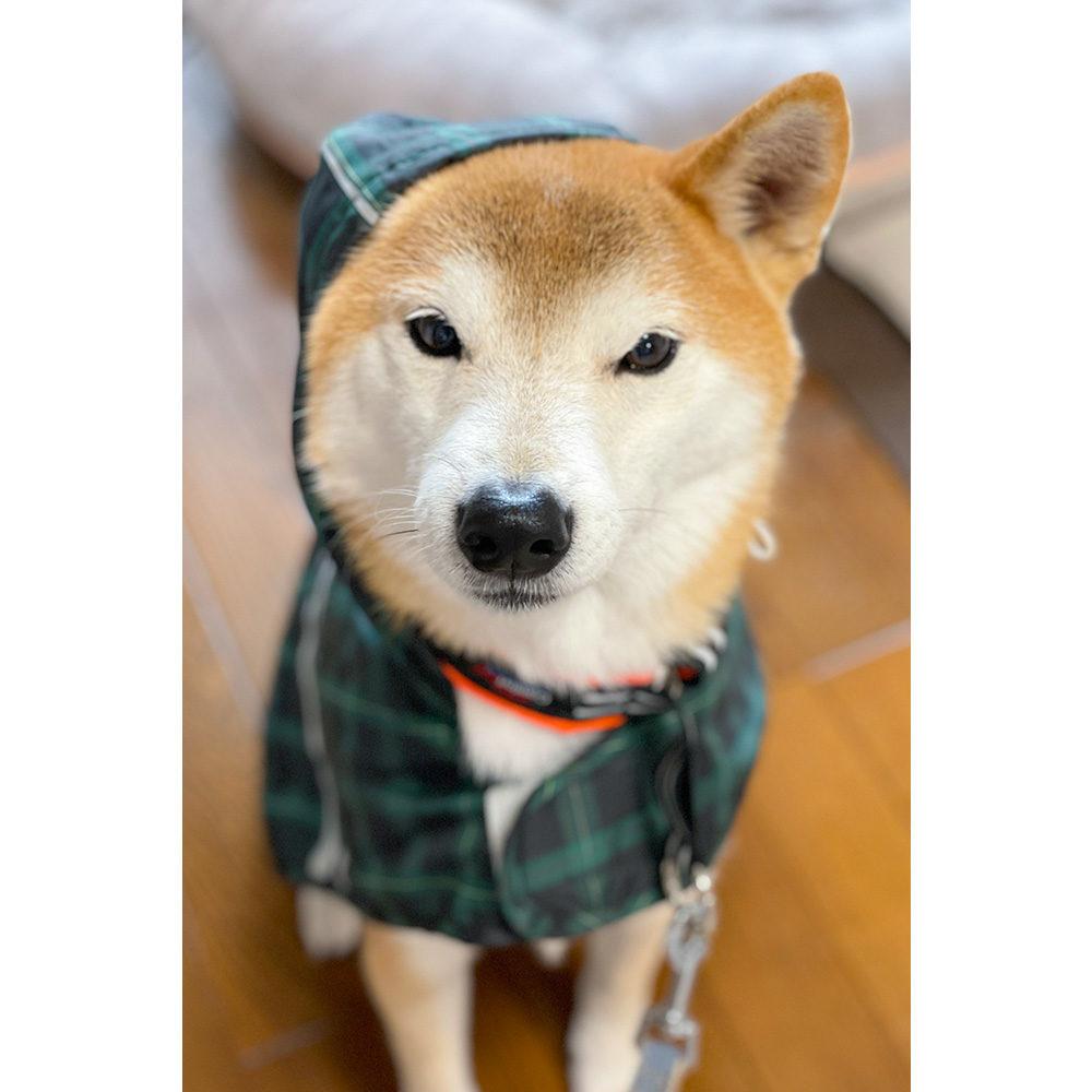 カッパを着る柴犬