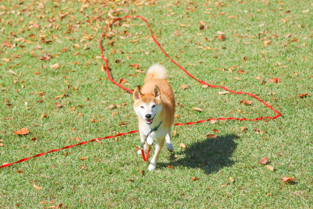 ロングリード 柴犬