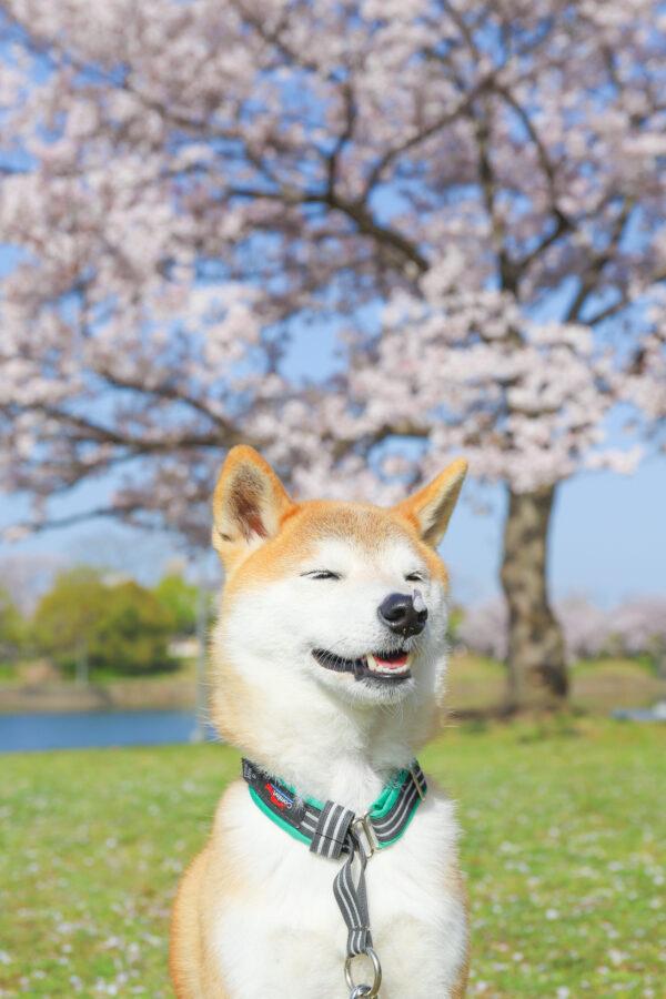 柴犬の誕生日