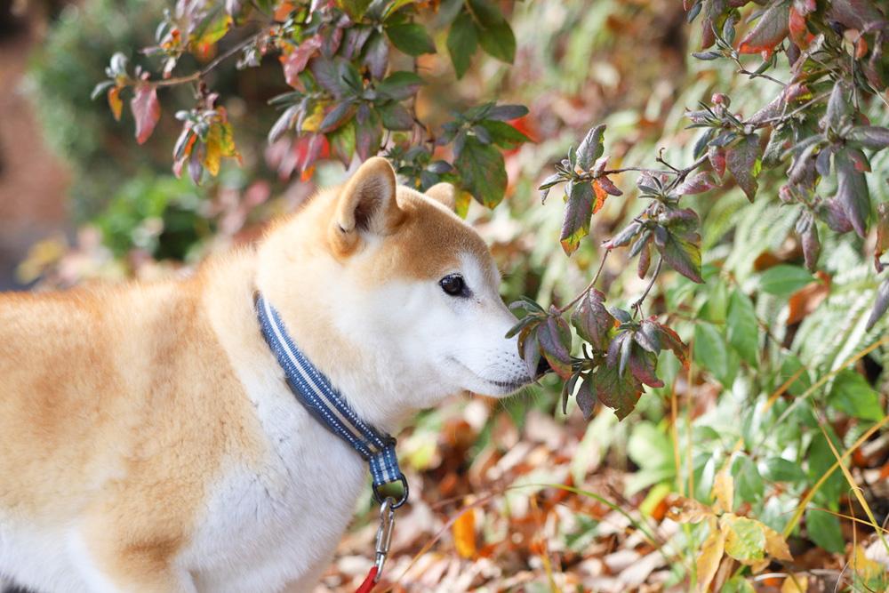 もふもふの柴犬
